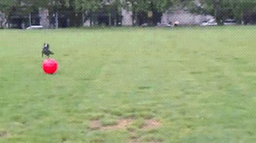공이 너무 큰 강아지 3