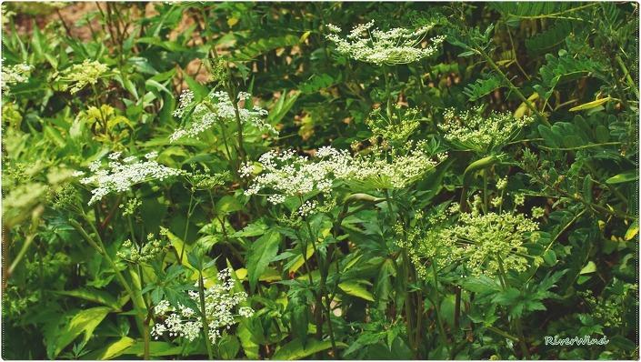 참당귀(Angelica gigas)꽃