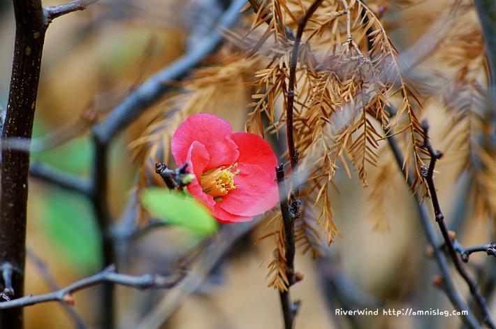 겨울에 핀 명자나무꽃 -산당화(山棠花)::OmnisLog