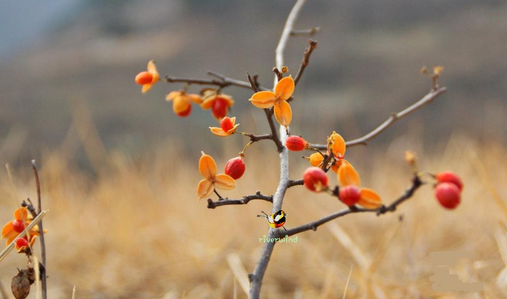 겨울열매 노박덩굴