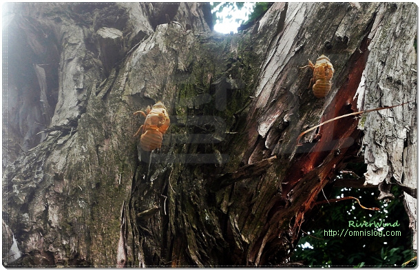 매미의 탈피(脫皮).  말매미(Cryptotympana atrata) Ecdysis.