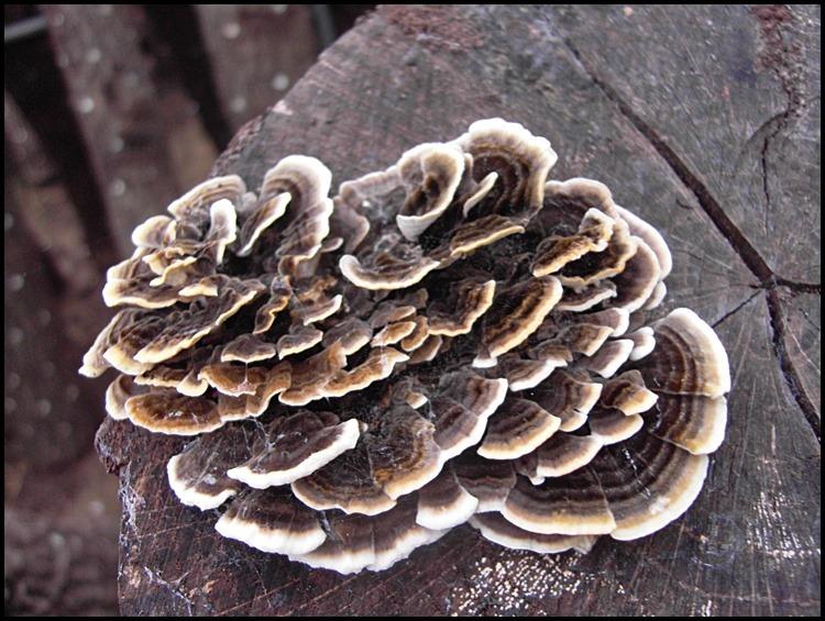 운지버섯의 효능과 먹는 방법