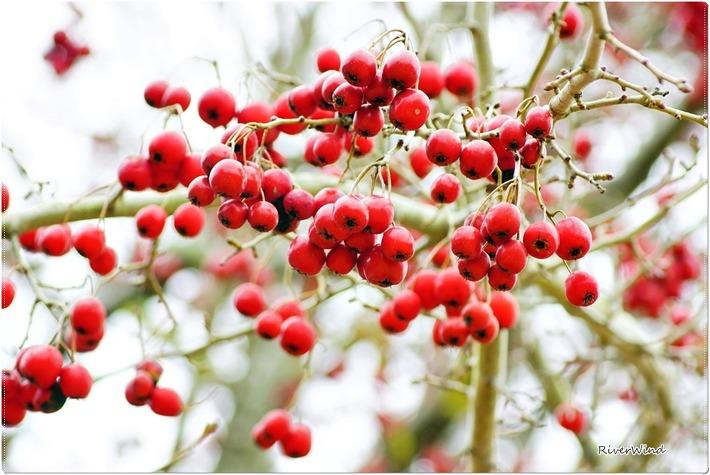 겨울에 꽃처럼 예쁜 사나사열매::OmnisLog