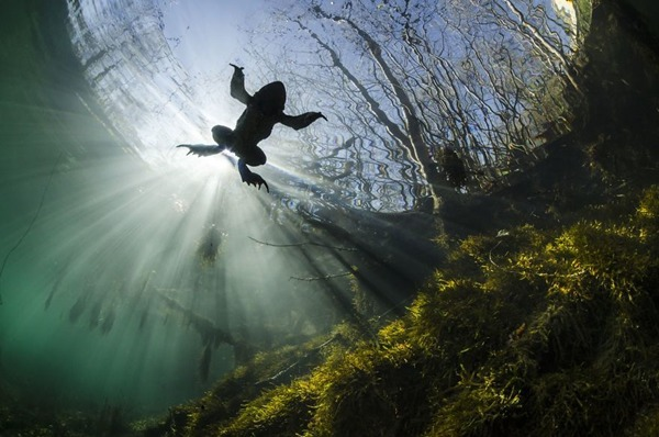 자연 부문 3위. 물 위의 왕자(Yannick Gouguenheim)