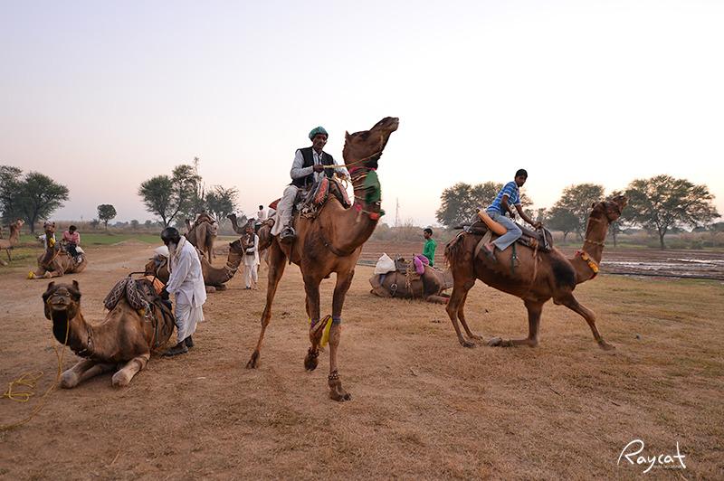 인도에서 만난 낙타부대