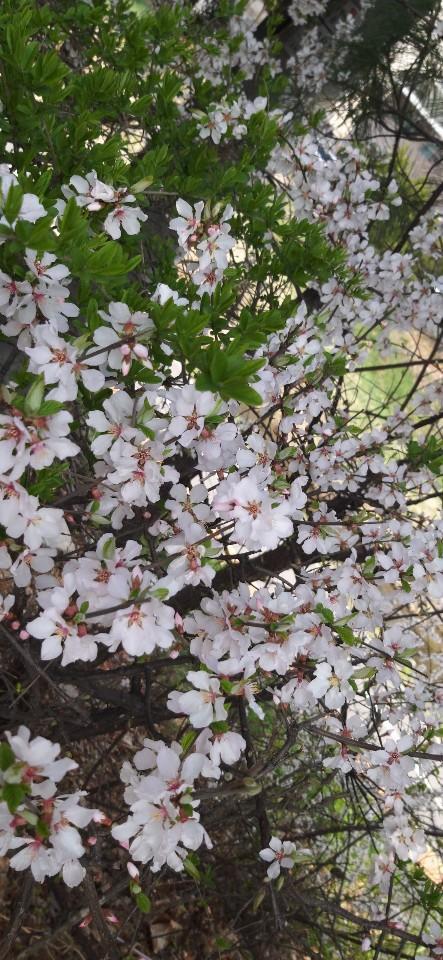 수양벚꽃나무