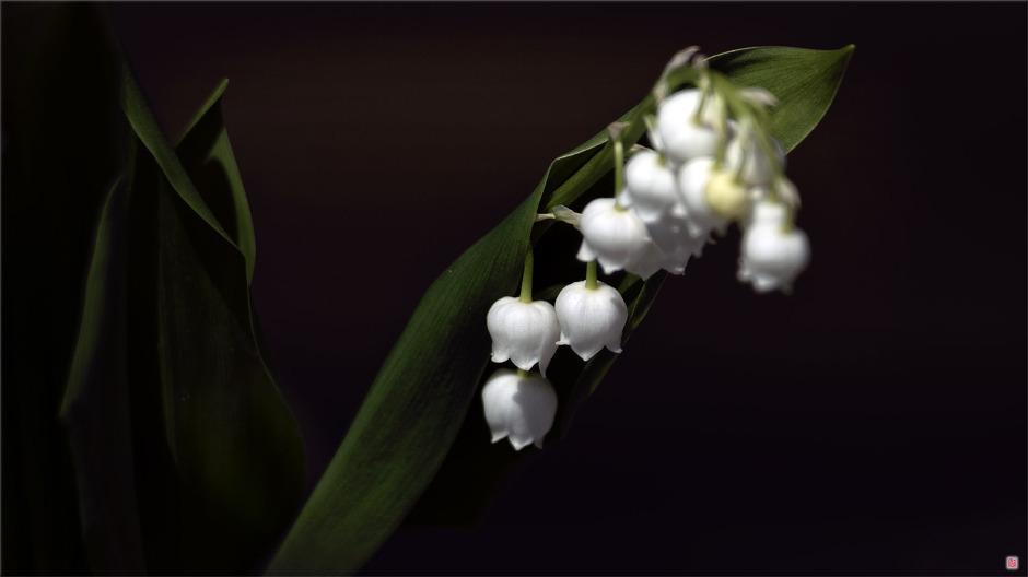 [삼성NX500] 비비추의 봄