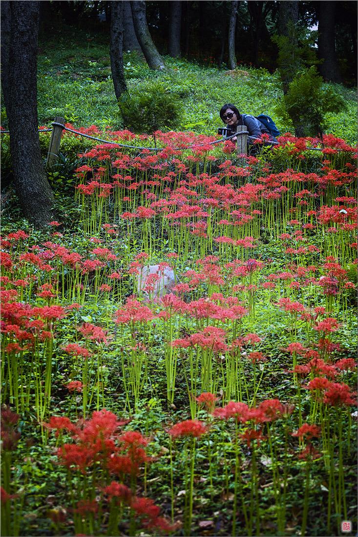 [삼성NX500] 꽃무릇세상2